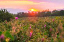 Уникальное розовое масло из Болгарии известно во всём мире