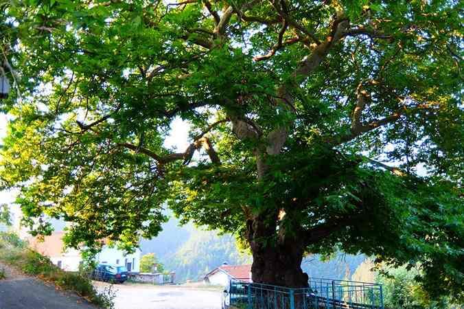 """""""Чинар"""" это впечатляющее дерево"""