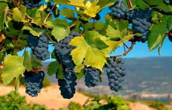Урожай винограда по прогнозам возрастет