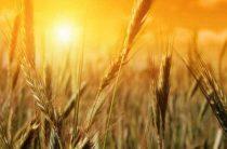 Почему мы едим лимец, а не пшеницу?